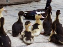 Flock of little yellow and black ducks turning back and running away royalty free stock photography