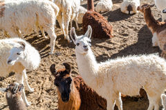 Flock of Llama resting on the ground Royalty Free Stock Images
