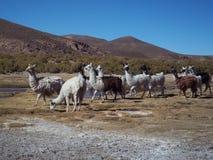 Flock of llamas Stock Photos