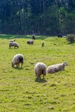 Flock of long-haired sheep light wool of white color, grazing on green meadow. royalty free stock images