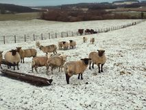 Lovely sheep in the snow at Crookham, Northumberland. UK. A flock of lovely healthy woolly sheep in the snow at Crookham, Northumberland. UK.nThey are very Royalty Free Stock Images