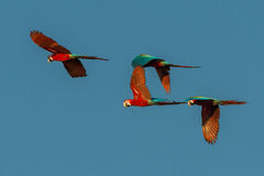 Flock of macaws flying in the peruvian Amazon jungle at Madre de