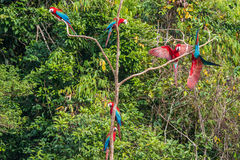 Flock of macaws standing in a three in the peruvian Amazon jungl Stock Images