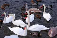 Flock of male and female Mallard Duck birds and Mute Swans on wa. Ter during a winter period Royalty Free Stock Image