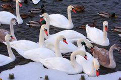 Flock of male and female Mallard Duck birds and Mute Swans on wa. Ter during a winter period Royalty Free Stock Photo