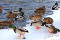 Flock of male and female Mallard Duck birds on water during a wi. Nter period Stock Photo