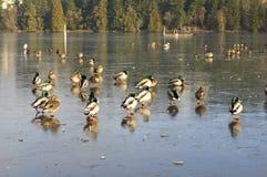 Flock of Mallard anas platyrhynchosstanding on a frozen lake. Nanaimo, British Columbia, Canada Royalty Free Stock Image