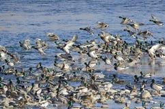 A Flock of Mallard Ducks. Ducks on a river in winter Royalty Free Stock Photo