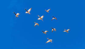 Flock of Mallard ducks Anas platyrhynchos flying. Flock of Mallard ducks  Anas platyrhynchos  flying in blue sky on their seasonal migration route Royalty Free Stock Photo