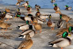 Flock of Mallard ducks on the banks of a frozen river royalty free stock images
