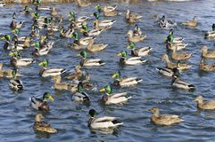 Flock of Mallard Ducks and Drakes in the Lake Royalty Free Stock Photos