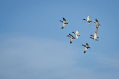 Flock of Mallard Ducks Flying in Blue Sky stock photography