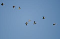 Flock of Mallard Ducks Flying in a Blue Sky. Flock of Mallard Ducks Flying in a Clear Blue Sky Stock Photo