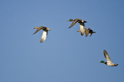 Flock of Mallard Ducks Flying in a Blue Sky Stock Photos