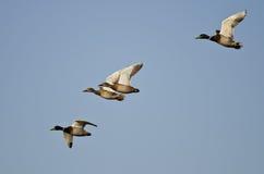 Flock of Mallard Ducks Flying in a Blue Sky Stock Photography