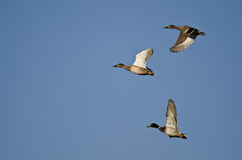 Flock of Mallard Ducks Flying in a Blue Sky Stock Image