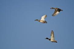 Flock of Mallard Ducks Flying in a Blue Sky. Flock of Mallard Ducks Flying in a Clear Blue Sky Stock Image