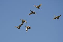 Flock of Mallard Ducks Flying in a Blue Sky. Flock of Mallard Ducks Flying in a Clear Blue Sky Royalty Free Stock Images
