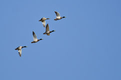 Flock of Mallard Ducks Flying in a Blue Sky. Flock of Mallard Ducks Flying in a Clear Blue Sky Stock Photography