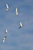 Flock of Mallard Ducks Flying in a Blue Sky Royalty Free Stock Image