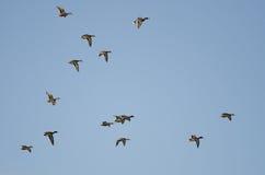 Flock of Mallard Ducks Flying in a Blue Sky. Flock of Mallard Ducks Flying in a Clear Blue Sky Royalty Free Stock Image