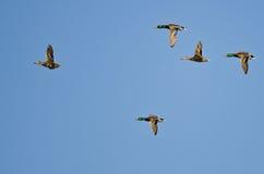 Flock of Mallard Ducks Flying in a Blue Sky. Flock of Mallard Ducks Flying in a Clear Blue Sky Royalty Free Stock Photo