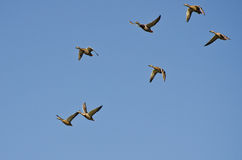 Flock of Mallard Ducks Flying in a Blue Sky Royalty Free Stock Images