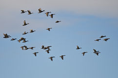 Flock of Mallard Ducks Flying in a Cloudy Sky. Flock of Mallard Ducks Flying in a Cloudy Blue Sky Stock Image