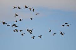 Flock of Mallard Ducks Flying in a Cloudy Sky Stock Image