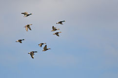 Flock of Mallard Ducks Flying in a Cloudy Sky. Flock of Mallard Ducks Flying in a Cloudy Blue Sky Stock Images