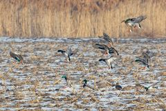 Flock of mallard ducks land on a field. Large flock of mallard ducks land on a farm field in winter during migration Stock Image
