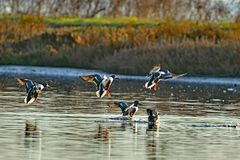 A flock of  mallard ducks landing. On the lake with a spalash Stock Photos