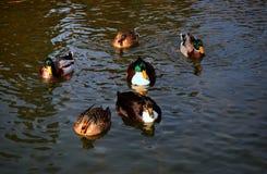 Flock of Mallard Ducks Royalty Free Stock Photography