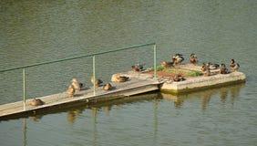 Ducks on the pier. Flock of mallard ducks relaxing on the old pier Stock Image