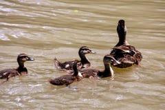 Flock of Mallard Ducks Swimming in the Lake. Photo picture Flock of Mallard Ducks Swimming in the Lake Royalty Free Stock Photography
