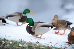 Flock of Mallard Ducks in Winter. A flock of male and female mallard ducks walking on snow in winter Royalty Free Stock Photos
