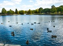 Flock of ducks on a landmark city lake. Flock of Mallard and other ducks in a landmark city lake park on a summer morning Stock Image