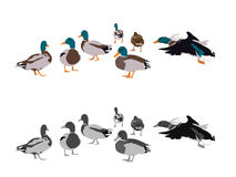Flock of mallards Stock Images