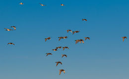 Flock of mallards in the air Stock Photo