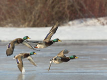 Flock of Mallards. A flock of Mallards in flight Royalty Free Stock Image