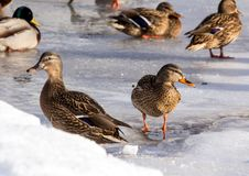 Flock of the mallards on the snow. Birds on the pond in early spring. Wild birds in the city Stock Photo