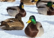 Flock of the mallards on the snow. Birds on the pond in early spring. Wild birds in the city Royalty Free Stock Photo