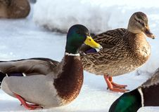 Flock of the mallards on the snow. Birds on the pond in early spring. Wild birds in the city Royalty Free Stock Images