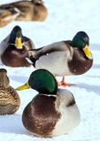 Flock of the mallards on the snow. Birds on the pond in early spring. Wild birds in the city Stock Images