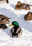 Flock of the mallards on the snow. Birds on the pond in early spring. Wild birds in the city Stock Image