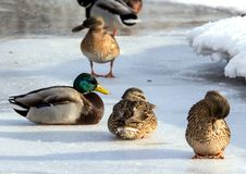 Flock of the mallards on the snow. Birds on the pond in early spring. Wild birds in the city Royalty Free Stock Photos
