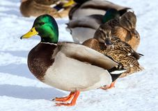 Flock of the mallards on the snow. Birds on the pond in early spring. Wild birds in the city Royalty Free Stock Photography