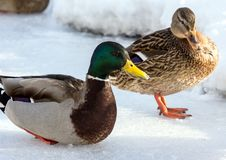 Flock of the mallards on the snow. Birds on the pond in early spring. Wild birds in the city Royalty Free Stock Image