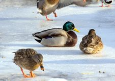 Flock of the mallards on the snow. Birds on the pond in early spring. Wild birds in the city Stock Photos