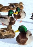 Flock of the mallards on the snow. Birds on the pond in early spring. Wild birds in the city Stock Photography